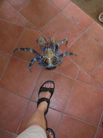 Manihi, Polinesia Francesa: My foot and a coconut crab!