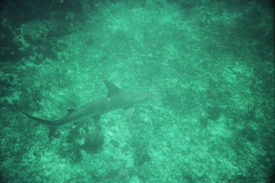 Snorkeling Adventures: a/a guia carlitos y rafael aqui tienes el tiburon martllo .de tus colegas de españa