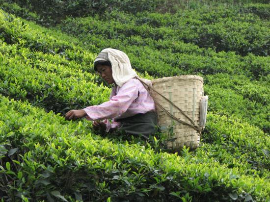 Glenburn Tea Estate: Picking Tea
