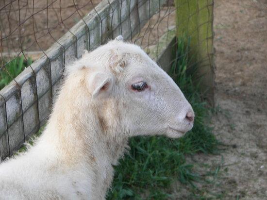 Olde Fogie Farm: lamb