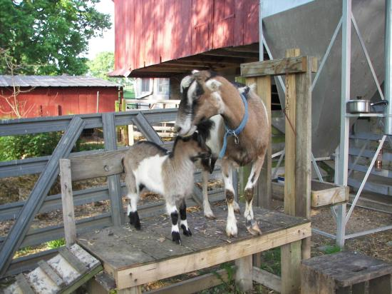 Olde Fogie Farm: dilly and dally