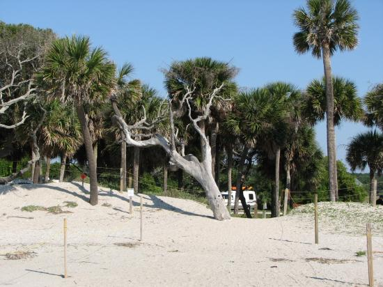 I Love This Tree Picture Of Edisto Beach State Park