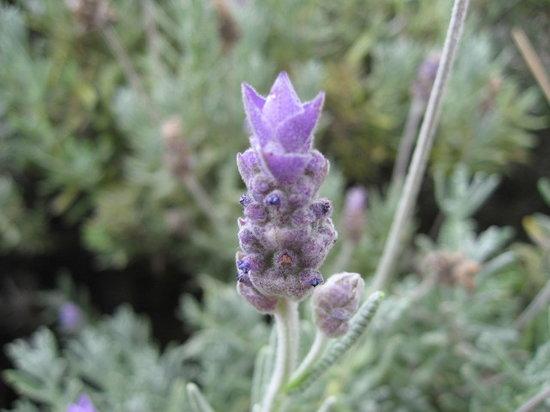 Ali'i Kula Lavender Farm: Lavender