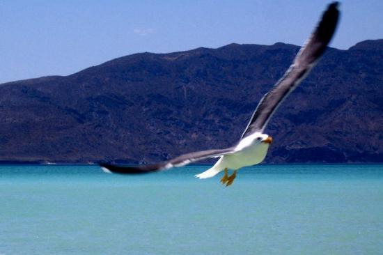 Coco Cabanas Loreto: Seagull