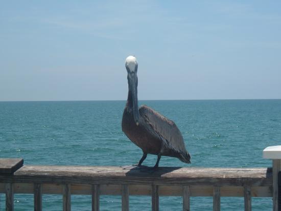 Gulf Gardens Resort: Pelican- Clearwater Pier