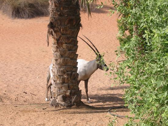 منتجع المها الصحراوي: the al-maha