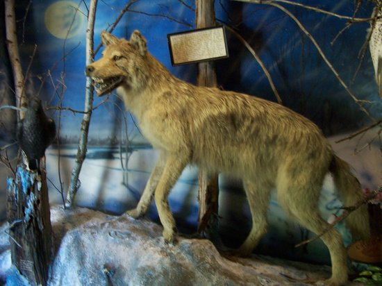 Beaver Springs Fishing Park: ratty timber wolf