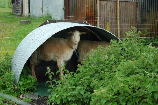 Glastonbury Townhouse: goats (not) in the rain