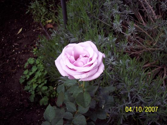 The Bissell House Bed & Breakfast: Just one of hundreds of sweet roses!