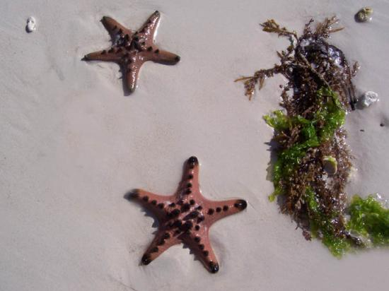 Alona Tropical Beach Resort: starfishes along the shoreline