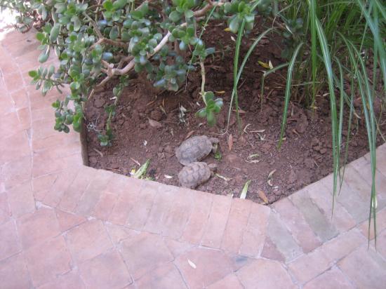 Riad l'Orangeraie: The resident turtles