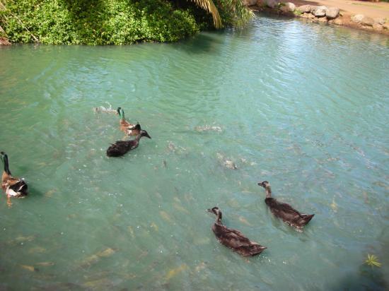 Wailuku, Hawái: more ducks and fish