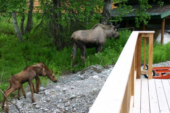 Gate Creek Cabins: moose at our deck