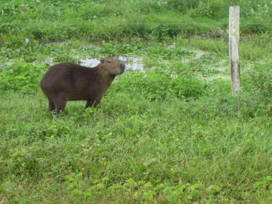 Hato el Cedral: a capybara