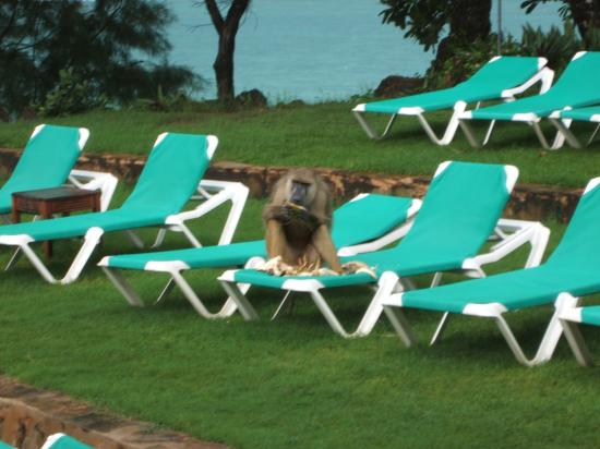 Baobab Beach Resort & Spa: Baboon enjoys lunch on sunbed