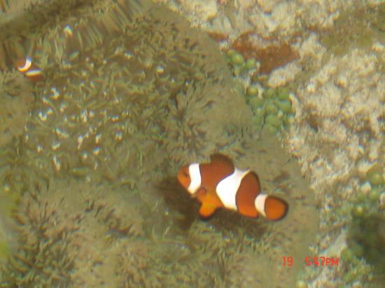 Dumaluan Beach Resort: We found Nemo in Dumaluan!