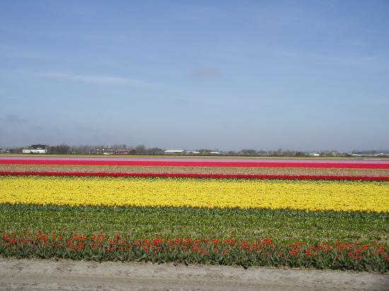 Friendzz B&B Amsterdam: Tulips from Amsterdam
