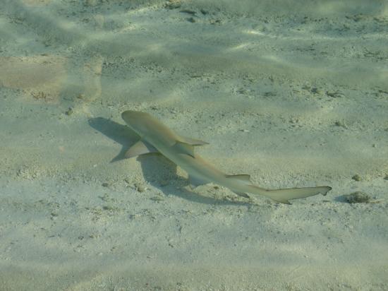 Mirihi Island Resort : Another Shark