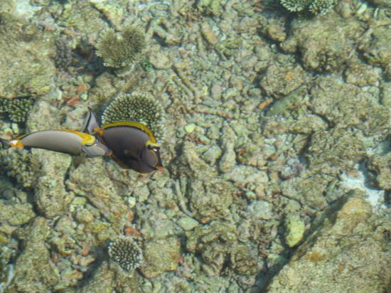 Mirihi Island Resort: Fish viewed from Deck