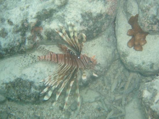 Hakura Club Island Resort: Lion Fish