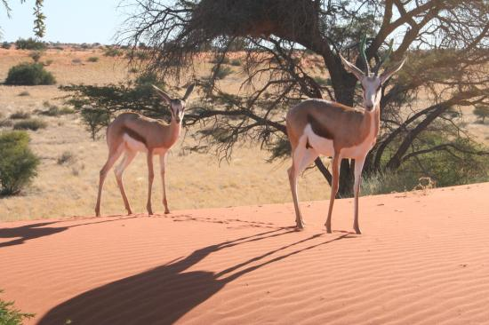 Mariental, Namibia: Two friendly Springbok