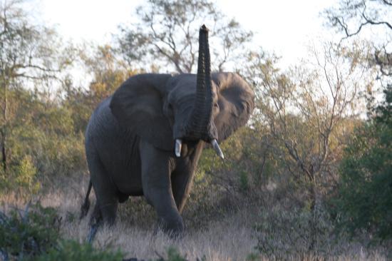 Royal Legend Safari Lodge & Spa: A large bull elephant who didn't like us.