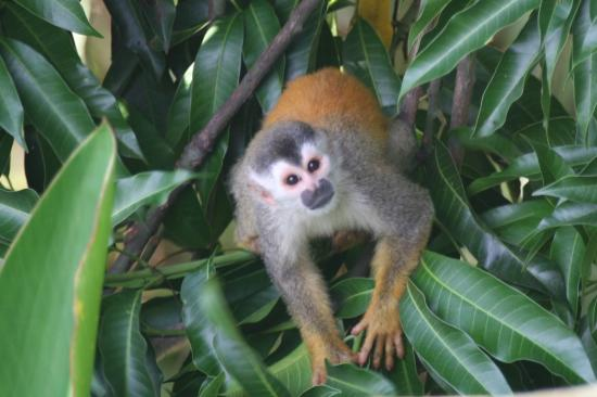Hotel California: Squirrel monkeys stop by about once a day