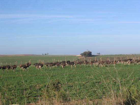 Anna's Farm: ostrich