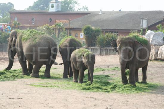 Chester, UK: Elephants cooling with the grass
