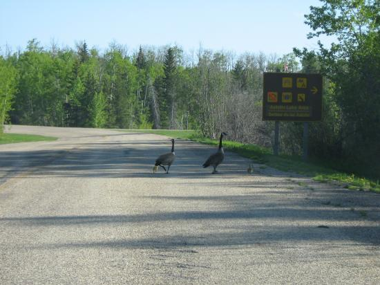 Edmonton, Canada: Ducks crossing the road