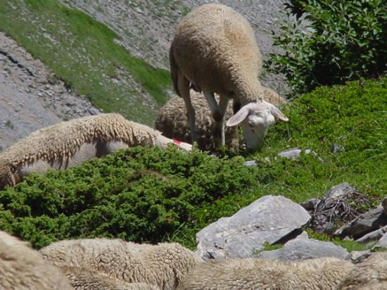 Lescun, ฝรั่งเศส: Sheep along the hiking trail.