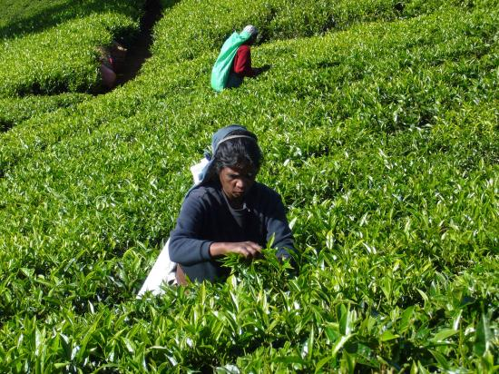 Heritance Tea Factory: tea picking in tough work because hills are sometimes steep