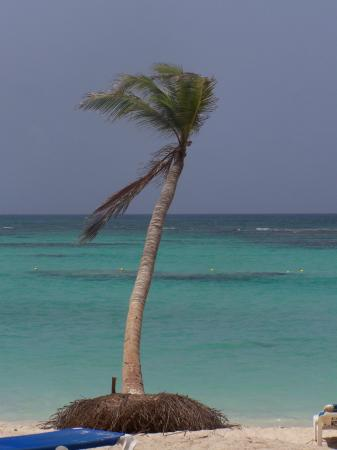 Bavaro Beach: cocotier