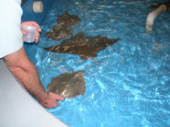 Konger Tarpon Springs Aquarium: Feeding the rays