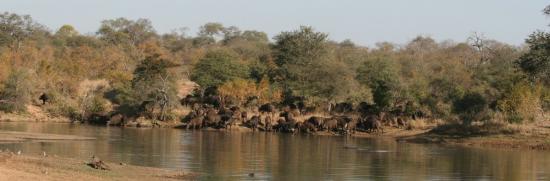 Royal Legend Safari Lodge & Spa: Water buffalo at the watering hole.