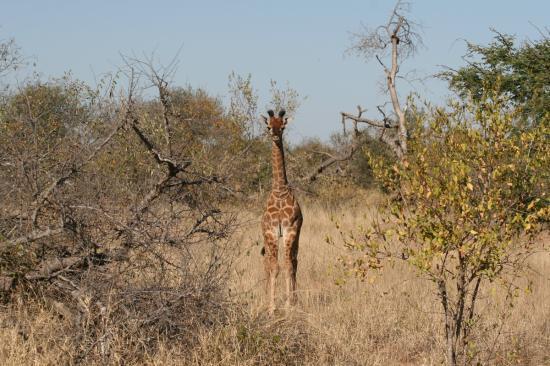 Royal Legend Safari Lodge & Spa: Baby giraffe walking with mother
