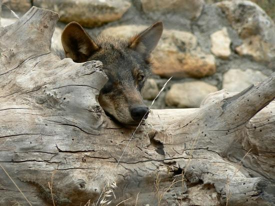 Antequera, Espanha: Wolf At Lobo Park