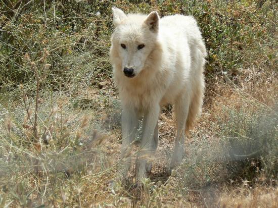 Antequera, Spania: Wolf At Lobo Park