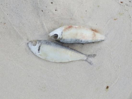 Ramada Plaza Fort Walton Beach Resort/Destin: More dead fish.