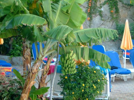Cordial Mogan Playa: bananas around the pool