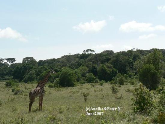 Shimba Rainforest Lodge: Giraffe at Shimba Hills