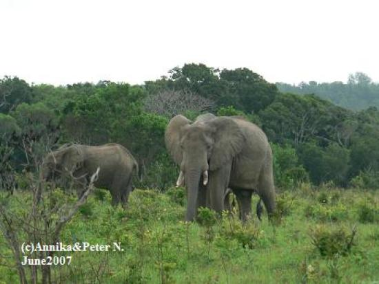 Shimba Rainforest Lodge: Elephants at Shimba Hills