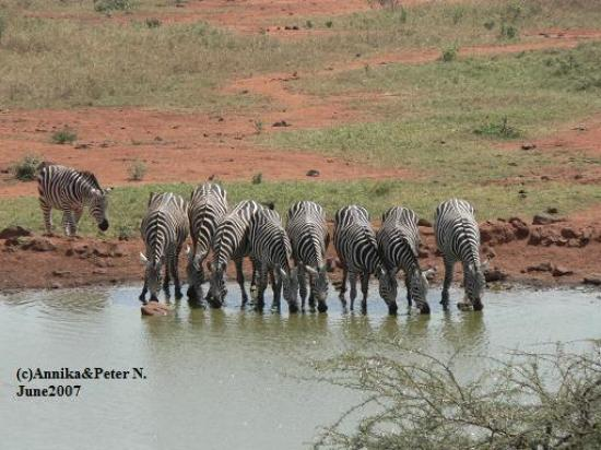 Kilaguni Serena Safari Lodge : Zebras at the waterhole