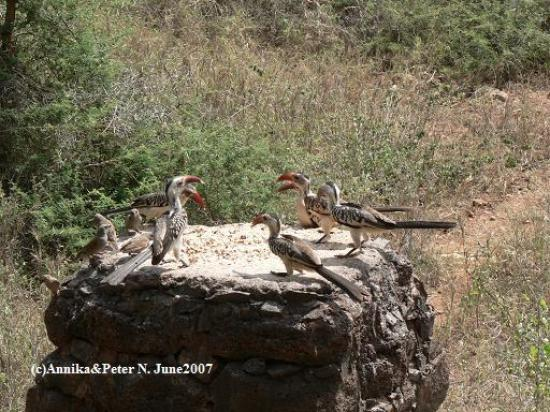 Kilaguni Serena Safari Lodge : Hornbills at the lodge
