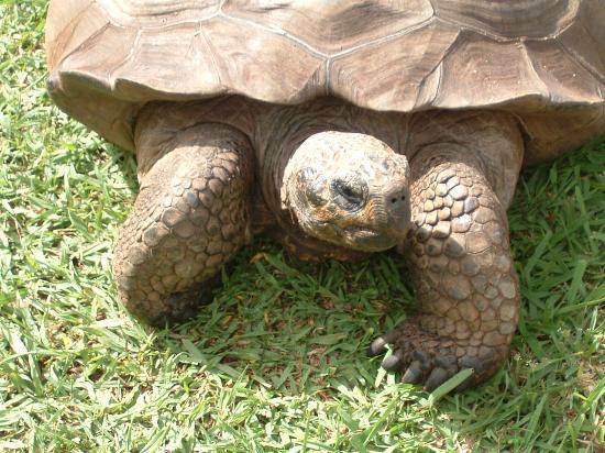 Quinta Jardins do Lago: Columbo the friendly giant tortoise