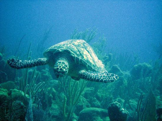 Beaches Turks & Caicos Resort Villages & Spa: Turtle