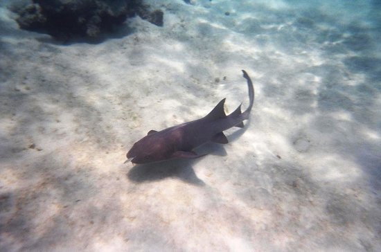 Moby Dick Tours : A nurse shark we saw while snorkeling after visiting the Stingray Sandbar.