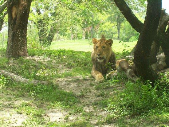 Busch Gardens: Lion