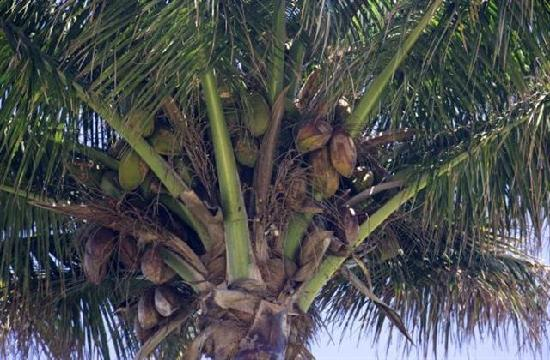 Island Sands Resort: Coconuts are removed from all the trees on the property except one.