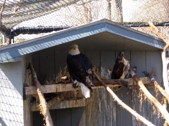 Eagle In Cage Picture Of Reelfoot Lake State Park
